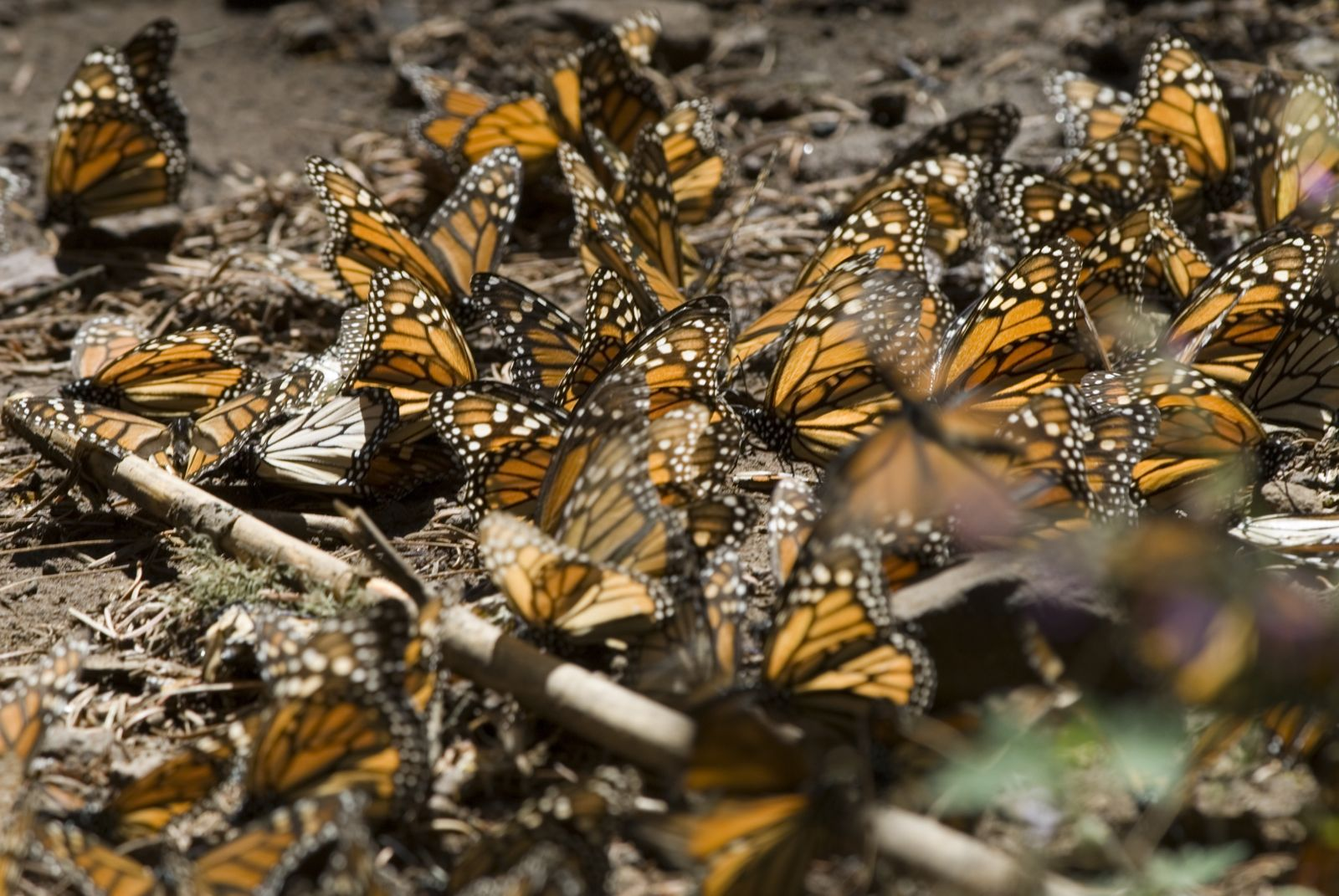 Monarch Butterflies in Michoacan (Mariposa Monarca)