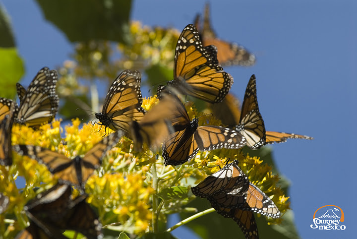 Butterflies Monarcas, beauty of Mexico