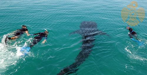 SwimmingWhaleSharks