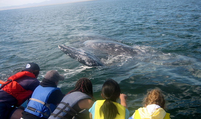 gray whales in baja adventure