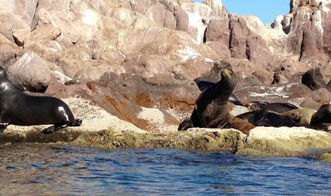 Baja Nature Sea Lions