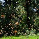 Michoacan Butterflies