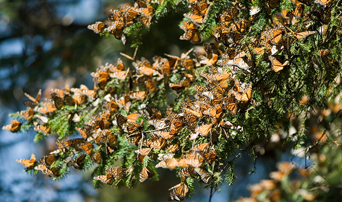 Morelia Migration of Butterflies