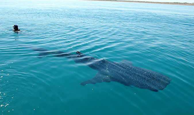 Full Length Whale Shark Adventure
