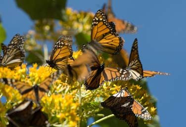 Highland Monarch Butterflies
