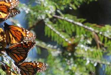 Three insects on the Monarch Butterfly Migration