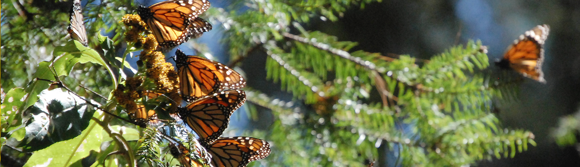 morelia and the monarch butterfly migration journey mexico