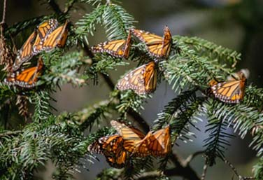 Morelia and the Monarch Butterfly Migration