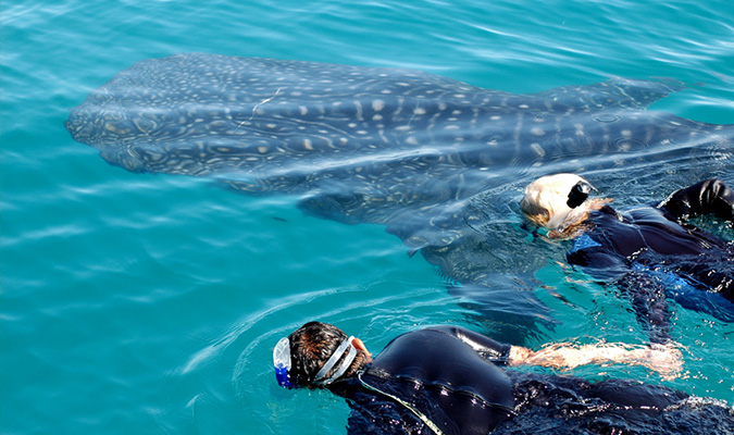 Whale Sharks Swim Adventure