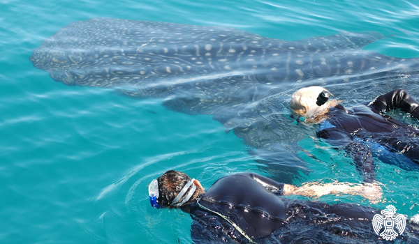 Isla Holbox Whale Sharks in Mexico