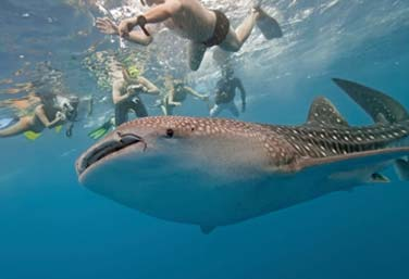 Private Whale Shark Tour