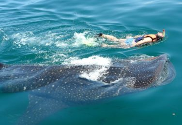 Swim with whale sharks this whale shark season