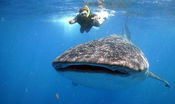 Animals in Mexico: the whale shark