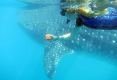 Private Whale Shark Researcher for a day and beach lunch
