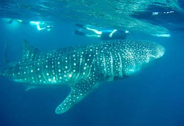 top-itinerary-los-cabos-whale-sharks
