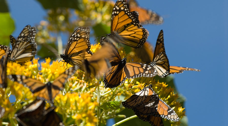 Monarch Butterfly Migration & the Colonial Heartland