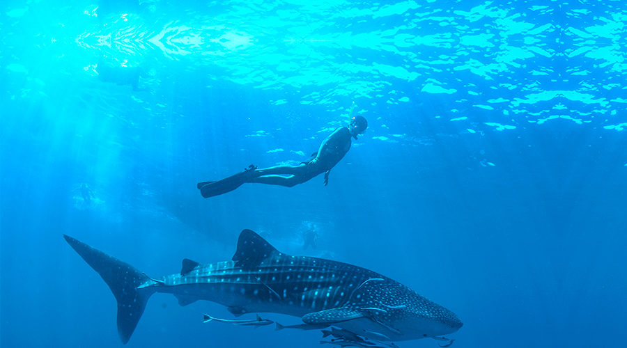 Whales &Whale Sharks Are Returning To Mexico's Pacific Coast