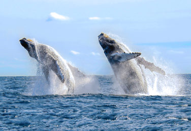 Humpback whales leap, one of the many incredible animals in Mexico