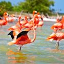 The flamingos of the Celestun Biosphere Reserve