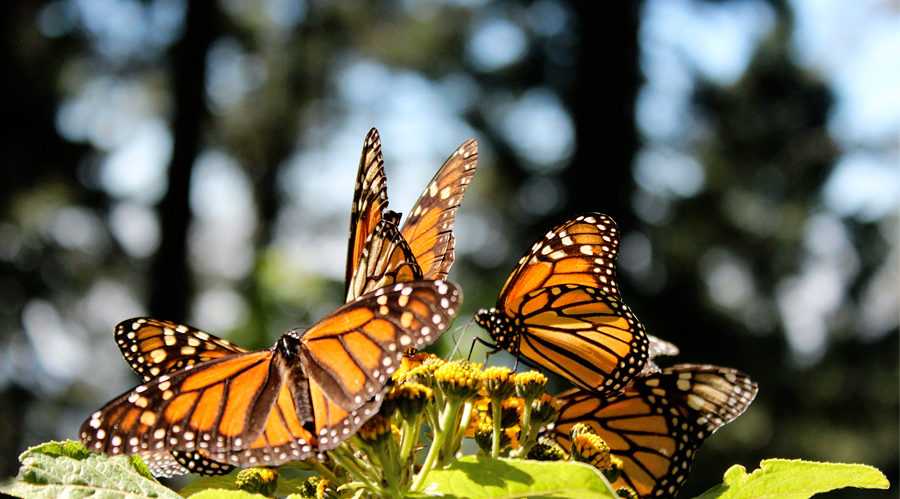 Monarch Butterflies and Playa Viva