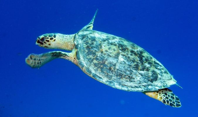 Hawksby sea turtle Credit: Derek Keats/Flickr