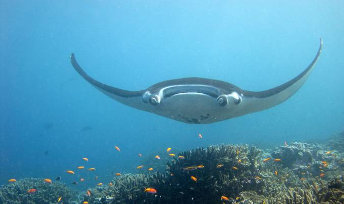 Great Pacific manta ray Credit: NOAA Photo Library/Flickr