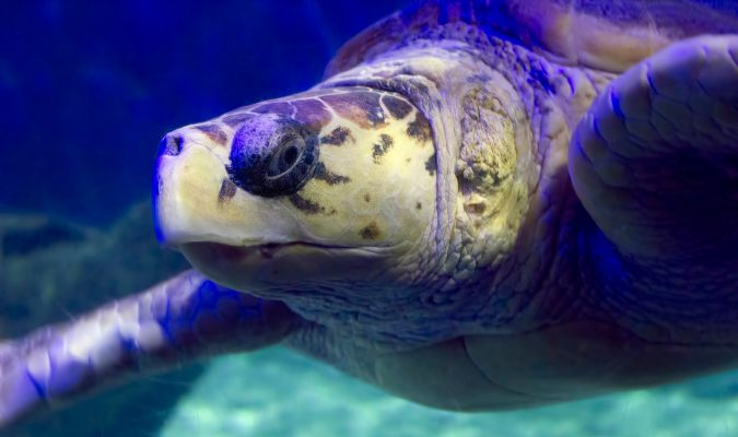 Olive ridley turtle Credit: C Watts/Flickr