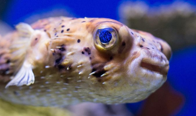Pufferfish Credit: scattered1/Flickr