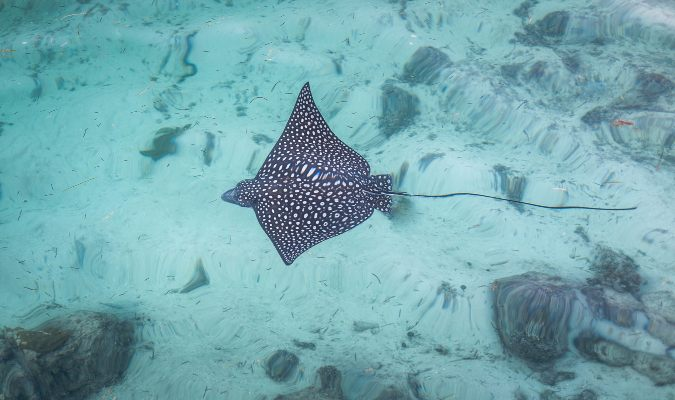 Spotted Eagle Ray Credit: Jason Boldero/Flickr